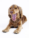 Cocker Spaniel male dog tired, 1 year old Stock Image