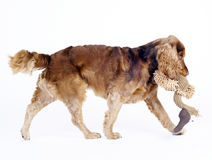Cocker Spaniel male dog walking, 1 year old Stock Images