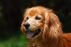 Cocker Spaniel mix portrait Stock Image