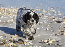 Cocker Spaniel mixed breed dog Royalty Free Stock Photos