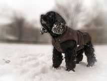 Cocker spaniel na neve imagem de stock royalty free