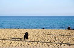 Cocker spaniel negro en la playa hermosa fotos de archivo