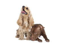 Cocker spaniel and a pit bull. Two friends on a white background stock photography