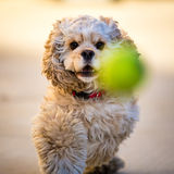 Cocker Spaniel Playing Fetch. A American Cocker Spaniel Playing Fetch with a tennis ball stock photos