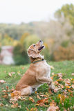 Cocker Spaniel playing on green grass. Among fallen autumn leaves Royalty Free Stock Photo