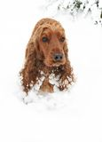 Cocker Spaniel playing Hide and seek in Snow. Two year old Spaniel with frozen snowballs hanging from Ears, taken in January Stock Photos