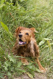 Cocker Spaniel. Playing in the tall grass Royalty Free Stock Photos