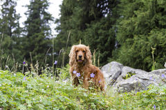 Cocker Spaniel. Playing in the tall grass Stock Image