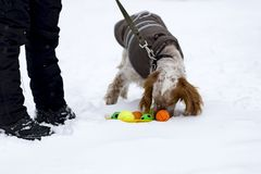 Cocker Spaniel plays ball in the street royalty free stock image