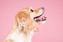Cocker spaniel-Porträt im rosa Hintergrund Lizenzfreies Stockbild