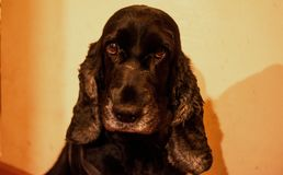 Cocker spaniel. Portrait of dog.Cute black cocker spaniel royalty free stock images