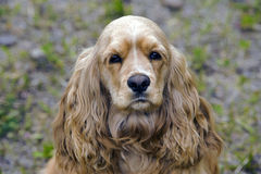 Cocker Spaniel portrait Royalty Free Stock Photography