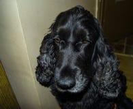 Cocker spaniel. Portrait of sweet,cute cocker spaniel dog royalty free stock photo