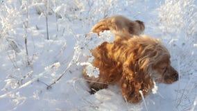 Cocker spaniel pozycja na mróz zakrywającej trawie Czerwony spaniel w zamarzniętej trawie w zimie Zdjęcie Royalty Free