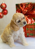 Cocker spaniel present. American cocker spaniel puppy wrapped up for christmas Royalty Free Stock Images