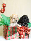 Cocker spaniel present. American cocker spaniel puppies wrapped up for christmas Royalty Free Stock Photo