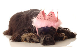 Cocker spaniel princess. American cocker spaniel with pink feathered tiara Royalty Free Stock Image
