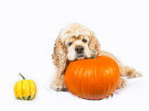 Cocker spaniel and pumpkins  Royalty Free Stock Photography