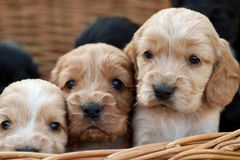 Cocker spaniel puppies Royalty Free Stock Image