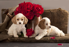 Cocker Spaniel puppies Royalty Free Stock Photo