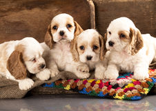 Cocker Spaniel puppies Stock Photos
