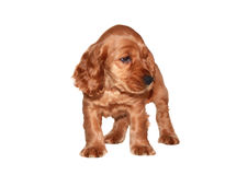Cocker spaniel puppy Stock Photos