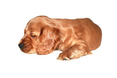 Cocker spaniel puppy Royalty Free Stock Images