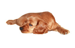 Cocker spaniel puppy Stock Photography