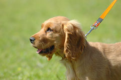 Cocker Spaniel puppy. A cute Cocker Spaniel puppy dog profile head portrait on a lead with cute expression in the face watching other dogs in the park outdoors Stock Photo