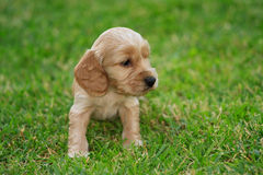 Cocker spaniel puppy Royalty Free Stock Photo