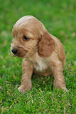 Cocker spaniel puppy Stock Photography