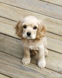 Cocker spaniel puppy. Adorable cocker spaniel puppy sitting on wood deck looking upwards Stock Photos