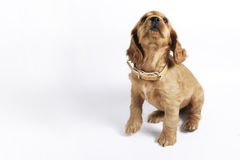 Cocker Spaniel Puppy Royalty Free Stock Image