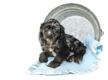 Cocker Spaniel Puppy Royalty Free Stock Photography
