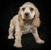 Cocker Spaniel Puppy Stock Image