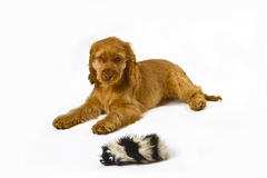 Cocker Spaniel puppy Stock Photo