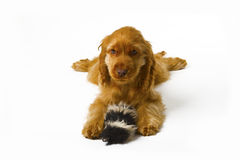 Cocker Spaniel puppy Royalty Free Stock Photos