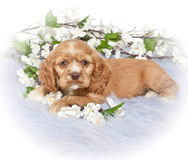 Cocker Spaniel Puppy. A pretty Little Cocker Spaniel Puppy laying on a purple blanket with white flowers around her royalty free stock images