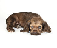 Cocker Spaniel Puppy Royalty Free Stock Photos