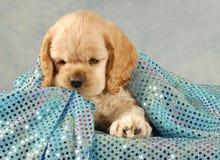 Free Cocker Spaniel Puppy Royalty Free Stock Photography - 7296417
