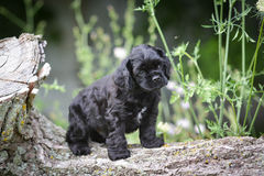Cocker spaniel puppy Stock Images