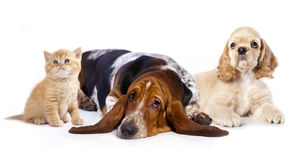 Cocker Spaniel puppy and  basset and kitten Stock Image