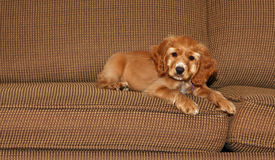 Cocker spaniel puppy on couch royalty free stock image