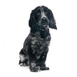 Cocker Spaniel puppy dog Stock Images