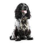 Cocker Spaniel puppy dog Stock Photos