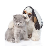 Cocker Spaniel puppy embracing and licking young kitten. isolated Royalty Free Stock Photography