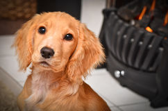 Cocker spaniel puppy by the fire keeping warm Stock Image