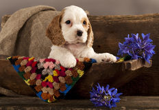 Cocker Spaniel puppy and flower. Blue stock image