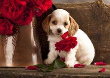 Cocker Spaniel puppy and flower rose. Cocker Spaniel puppy and flower red rose stock images