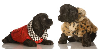 Cocker spaniel puppy littermates. Two american cocker spaniel puppies dressed up in winter coats stock image